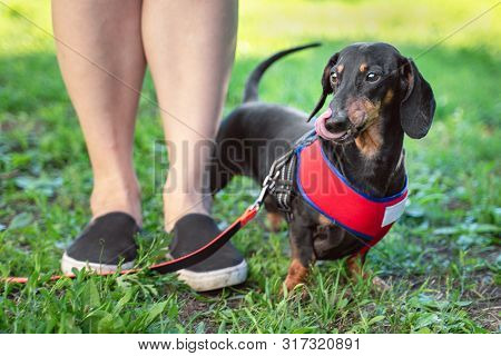 Obedient Dog Dachshund, Licks With Tongue,  Doing Walking Exercise With Owner. Obedience Training