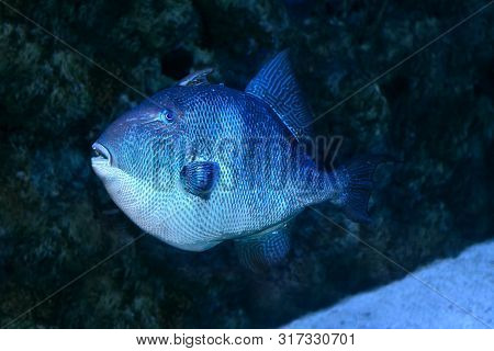 A Blue Triggerfish (pseudobalistes Fuscus). Close Up