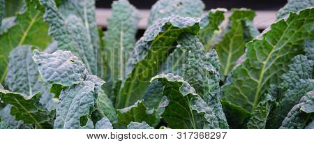 Lacinato Kale Leaves Close Up In The Vegetable Garden. It Is Also Known As Tuscan Kale, Tuscan Cabba