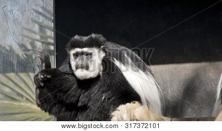 The Black And White Colobus Is Sitting Restind