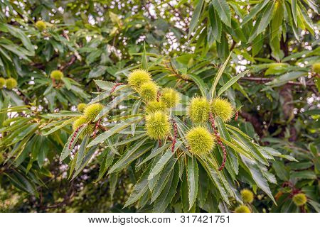 Closeup Of Ripening Cupules On A Sweet Chestnut Or Castanea Sativa Tree. The Photo Was Taken In The