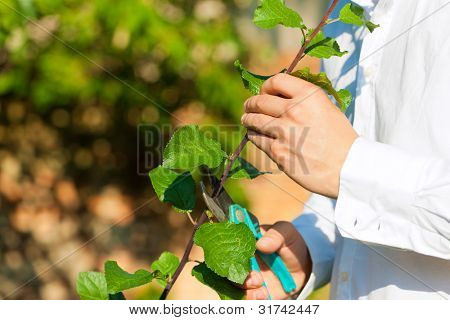 Man is cutting fruit tree with trimmer in his garden on a beautiful summer day