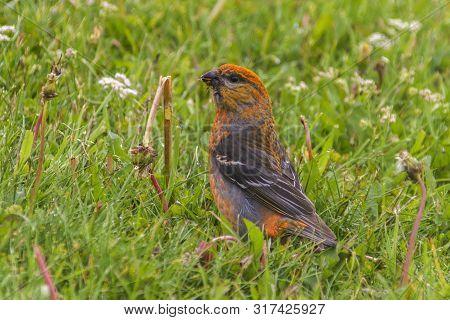Orange Pine Grosbeak In Green Grass Eating Dandelion Seeds; Newfoundland