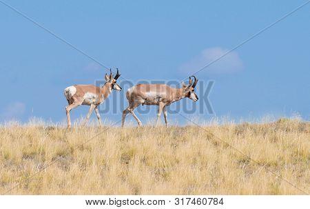 Two Pronghorn Antelope Bucks Enjoying Arizonas Summer Grass