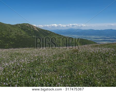 View On Valley Of Liptov Valley From Hiking Trail On Meadow With Blooming Pink Plantago Flowers, Wes