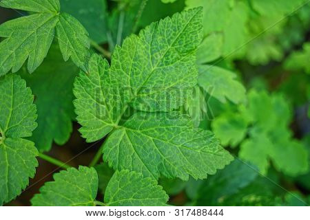 Natural Green Texture Of Green Leaves Of A Wild Plant