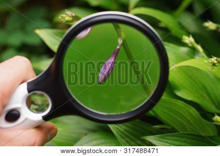 Black Magnifier Magnifies Blue Flower Bud On Green Stem