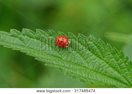 One Little Red Ladybug Sits On A Green Leaf Of Nettle