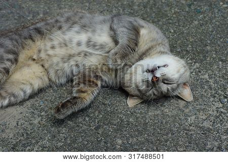 One Big Gray Cat Lies And Sleeps On The Asphalt