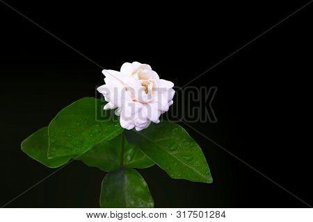 Close Up Of Jasminum Sambac Or Sambac Jasmine Isolated On Black Background
