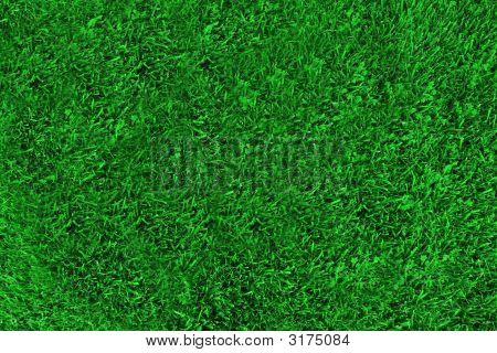 Blue Eyed Baby Grass 2