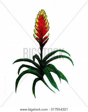 Guzmania Plant Watercolor Illustration. House Tropical Plant. Hand Drawn Exotic Plant. Tufted Airpla