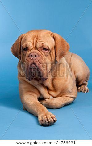 Cute French Mastiff against blue background