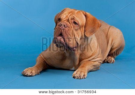 Dogue De Bordeaux lying against blue