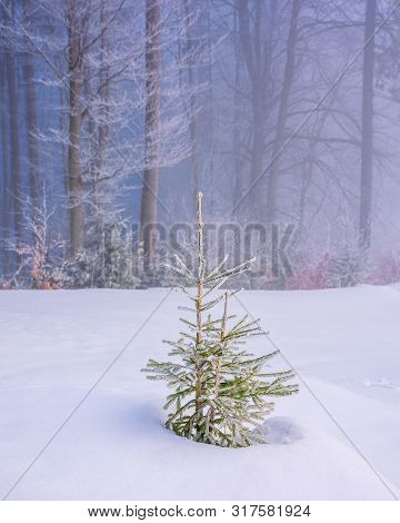 Enchanted Winter Scenery. Small Spruce Tree In Hoarfrost On A Snow Covered Meadow In Front Of A Beec