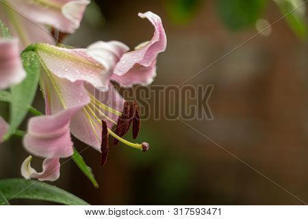 Lily flower after rain. Stamens closeup with brown pollen. Blurred braun background poster