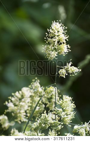 A Spring Weed Bristles With Pollen Laden Male Anthers On Long Filaments During Its Life Cycle