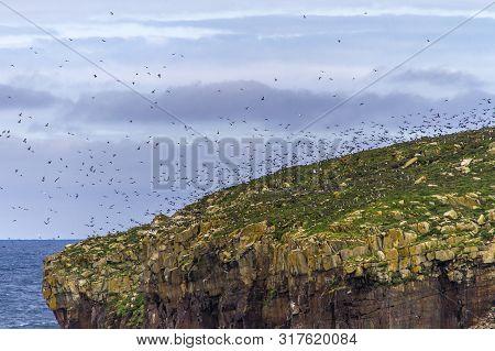 Many Atlantic Puffins Flying About Nesting Places On Newfoundland Island