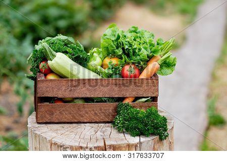 Basket Full Of Harvest Organic Vegetables And Root On Organic Bio Farm. Autumn Vegetable Harvest