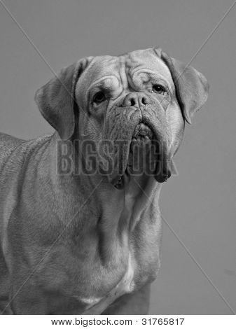 Dogue De Bordeaux black-and-white studio portrait