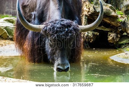 Wild Yak Drinking Some Water Out Of A Water Puddle, Yak With Its Face In Closeup, Tropical Cattle Sp