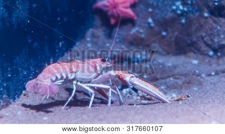closeup of a norway lobster on the bottom of the aquarium, popular pet in aquaculture poster