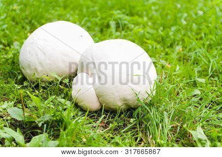 Giant White Puffball - Mushroom On Grass