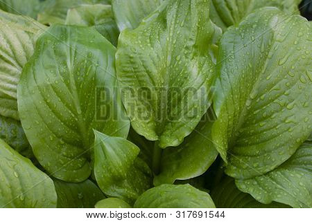 Green Hosta Plants. Hosta Plants In The Morning. Sunlit Hosta Plant On A Summers Day. Drops Of Dew O