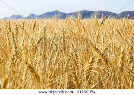 golden grass wheat field