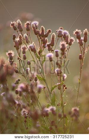 Blossoming Thistle, Cirsium Arvense In Summer. Blurred Bokeh Background Of Meadow.