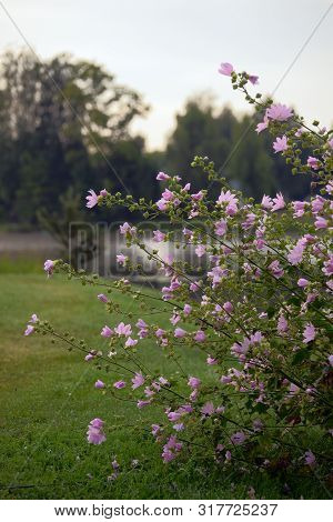 Stems With Leafs And Pink Flowers Marshmallow, Nature Background