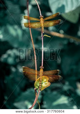 Orange Dragonfly Or Flame Skimmer Resting On The Twig Or Branch Of Tree At Mid Noon. Brachythemis Co