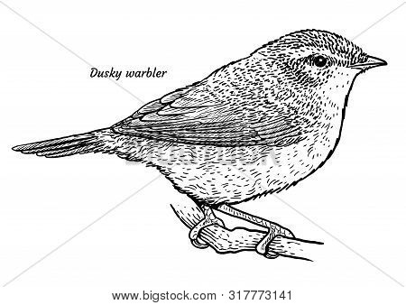 Dusky Warbler, Phylloscopus Fuscatus Illustration, Drawing, Engraving, Ink, Line Art, Vector