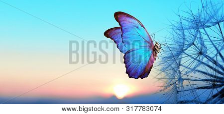 Natural Pastel Background. Morpho Butterfly And Dandelion. Seeds Of A Dandelion Flower In Droplets O