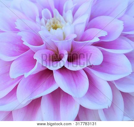 Showy And Bright Dahlia Flower Close Up.