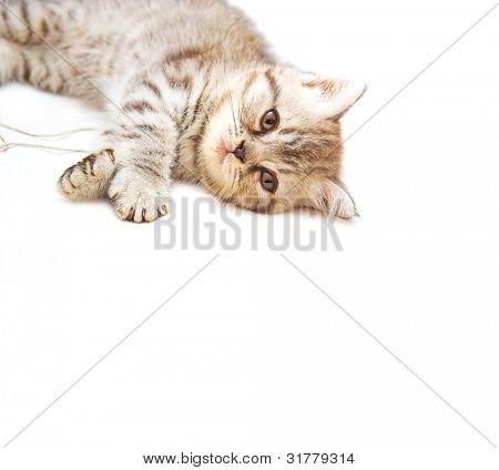 Exotic Shorthair kitty poster