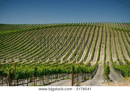 Vineyards Of Napa Valley, Usa