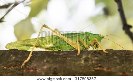 Green Grasshopper Sat On A Tree Branch. A Large, Interesting Insect Whose Eyes Are Very Visible