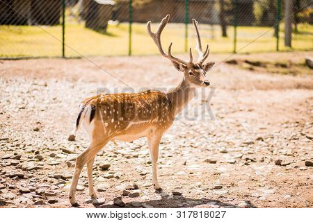 Cute Spotted Fallow Deer Is Ruminant Mammal Belonging To The Family Cervidae. Fallow Deer In Summer