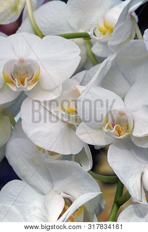 Close Up Image Of Moth Orchid Flowers (phalaenopsis X Hybridus).