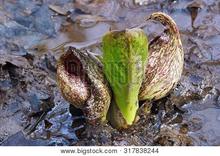 Eastern Skunk Cabbage (symplocarpus Foetidus). Known As Swamp Cabbage, Clumpfoot Cabbage, Meadow Cab