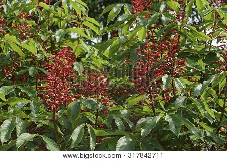 Red Buckeye (aesculus Pavia). Known As Scarlet Buckeye And Firecracker Plant Also.