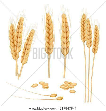 Wheat Realistic. Agriculture Healthy Organic Food Golden Grain Vector Wheat Collection. Illustration