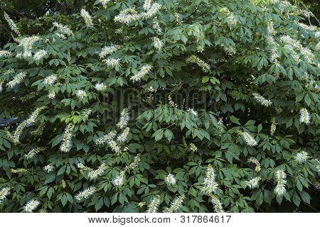 Bottlebrush Buckeye (aesculus Parviflora). Known As Dward Horse Chestnut Also.