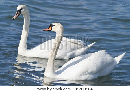 Two white swans on a sea
