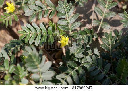 Flower Of Goat Head Flower, Tribulus Terrestris