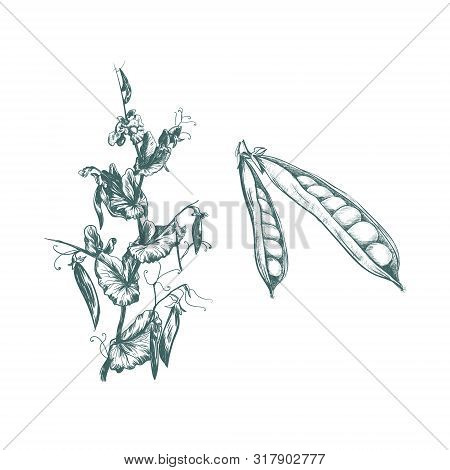 Peas Plant Vector Illustration. Set Peas Sketch Hand Drawing. Pea Botanical Illustration