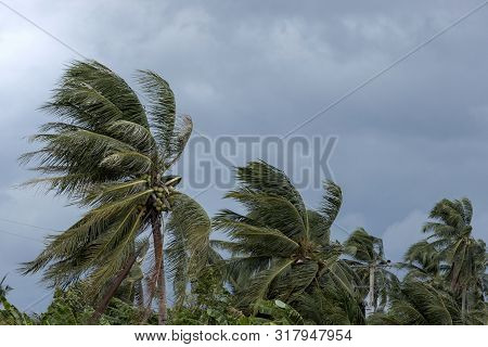 Beginning Of Tornado Or Hurricane Winding And Blowing Coconut Palms Tree With Dark Storm Clouds. Rai