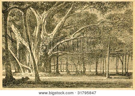 Banyan - gammal illustration av okänd konstnär från Botanika Szkolna na Klasy Nizsze, författare Jozef Rost