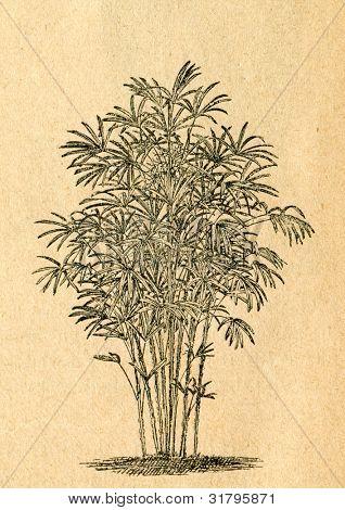 Rhapis Palm - gammal illustration av okänd konstnär från Botanika Szkolna na Klasy Nizsze, författare Jozef